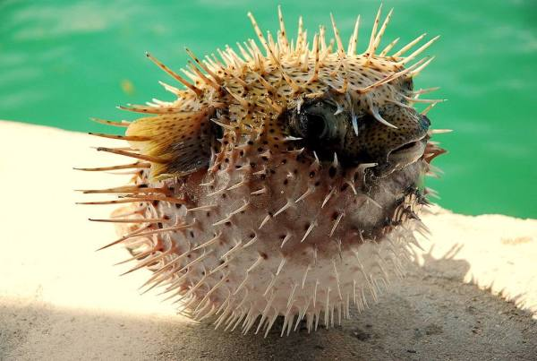 Who would eat a puffer fish?