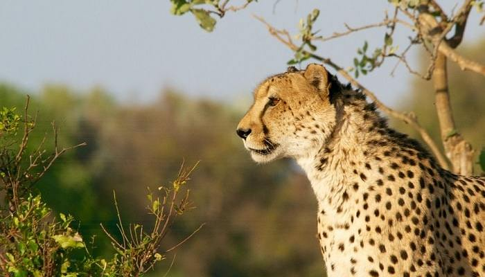 cheetah animal in savanna