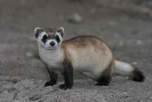 Black-Footed Ferret playing around