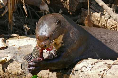 Otter eating his prey