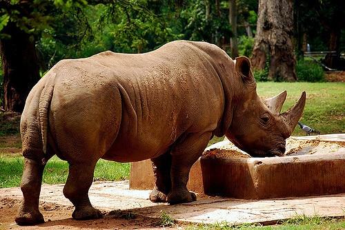 rhino drinking water