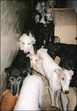 Greyhound rescue conditions