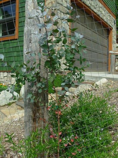eucalyptus in dye garden
