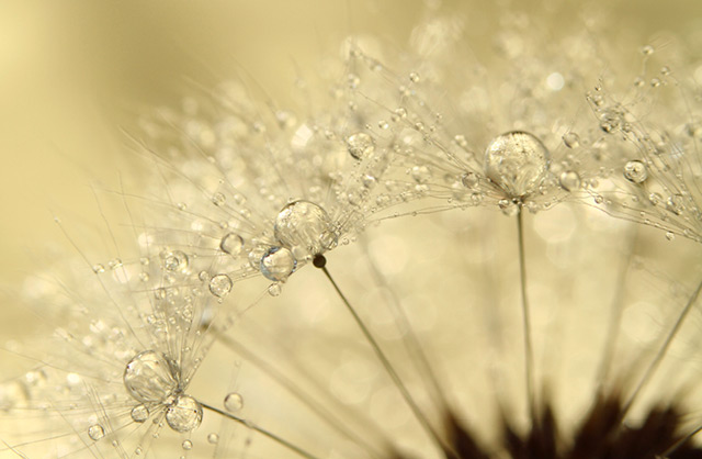 Gorgeous Macro Photographs of Dew Soaked Dandelions by Sharon Johnstone plants photography
