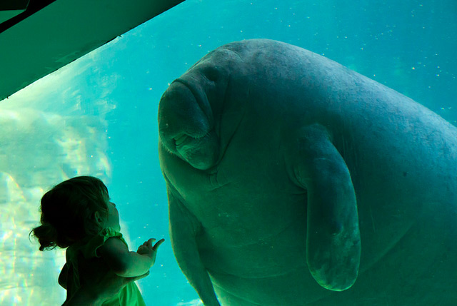 First Contact manatees animals