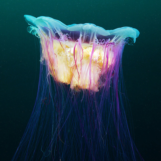 Underwater Experiments Continued: Wonderful New Photos of Jellyfish by Alexander Semenov underwater nature jellyfish