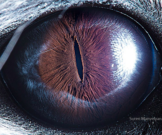 Can You Guess the Owner? New Macro Photos of Animal Eyes from Suren Manvelyan  macro eyes animals