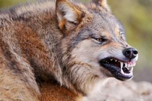 Wolf horror
