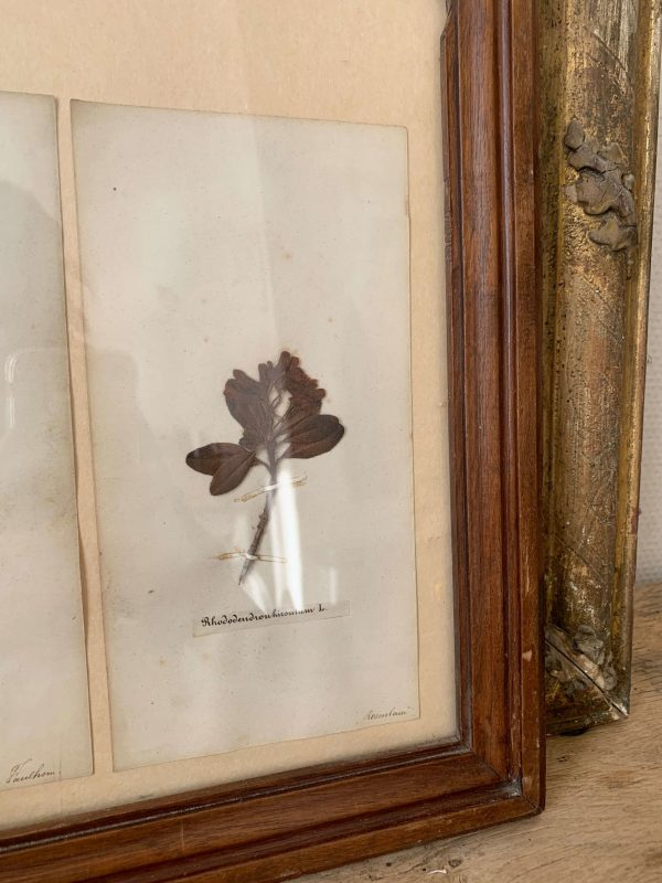 ancien herbier en tableau 1900