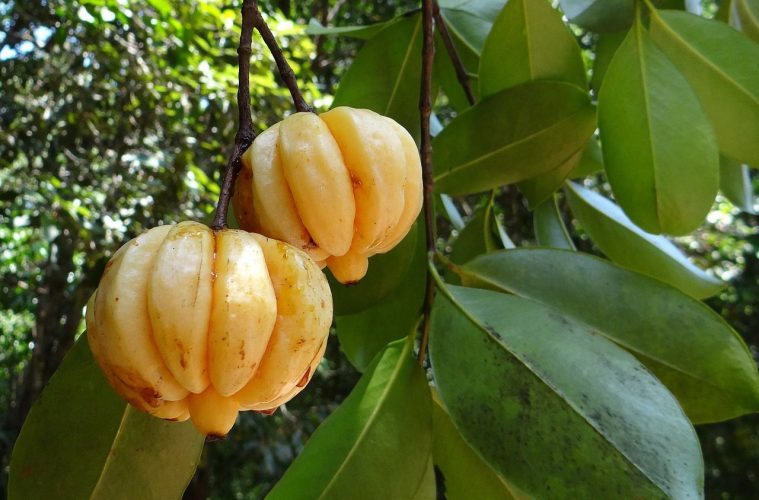Garcinia Cambogia Pros And Cons This Is Why I M Fit