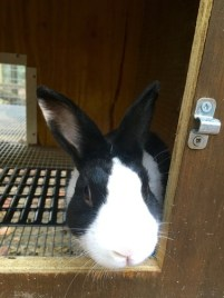 black and white dutch bunny