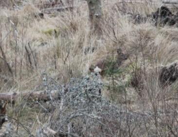 Roe deer seen from Room 1