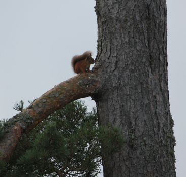 Red Squirrel nearby