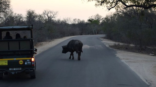 Buffalo on the road in Kruger National Park, South Africa 2016