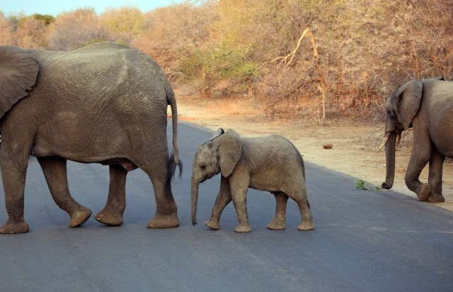 Elephant baby on the road in Kruger National Park, South Africa 2016