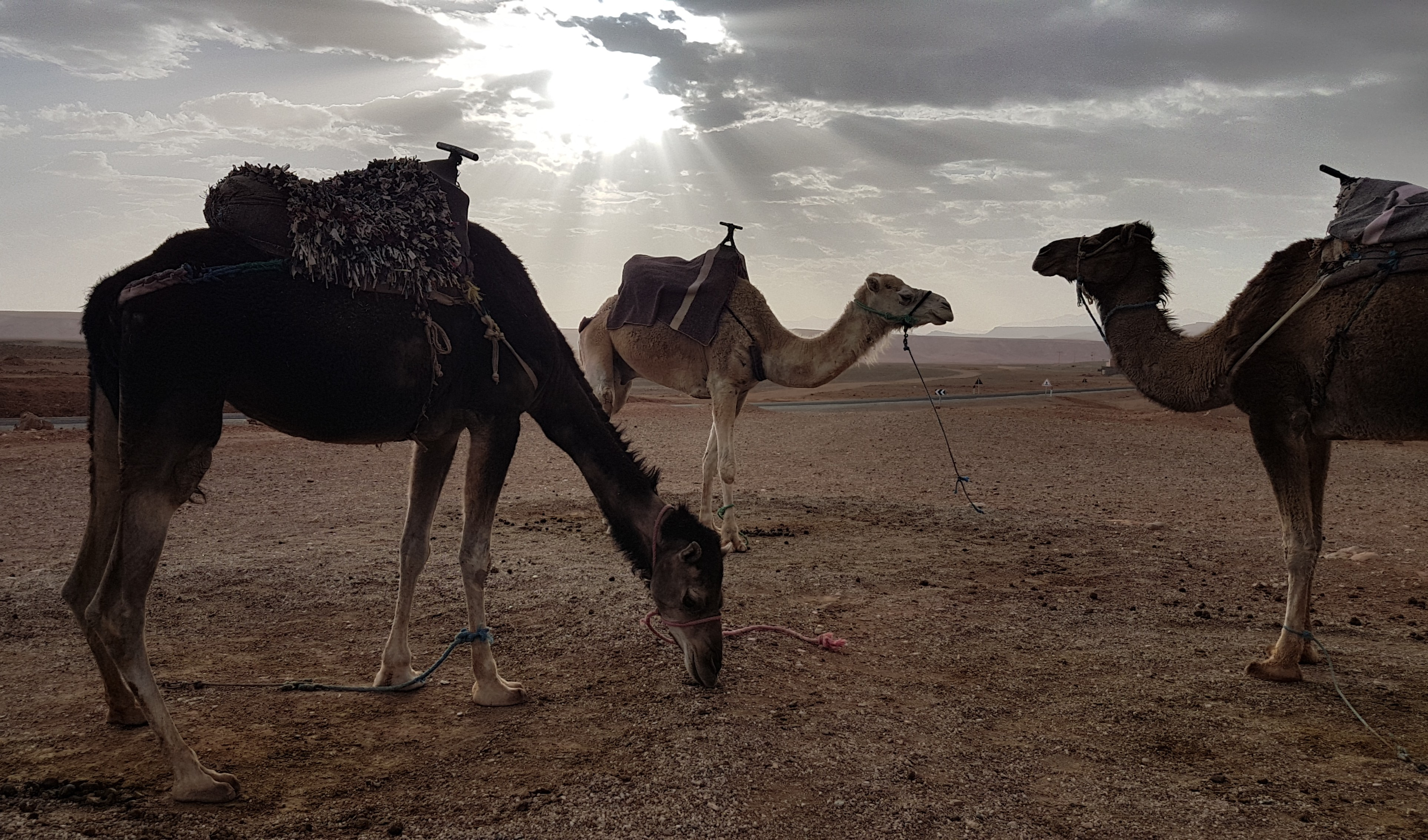 The camels waiting for us