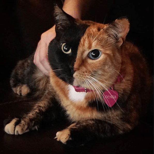 Inspirational Venus The Mysterious Two Faced Cat This Way Come - Venus two faced cat