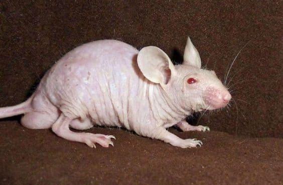 https://i2.wp.com/www.thiswaycome.com/wp-content/uploads/2015/08/14400951366367-hairless-bald-animals-12.jpg?resize=605%2C401