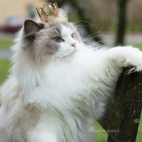 Let's all bow down to Aurora, the Queen of Cats