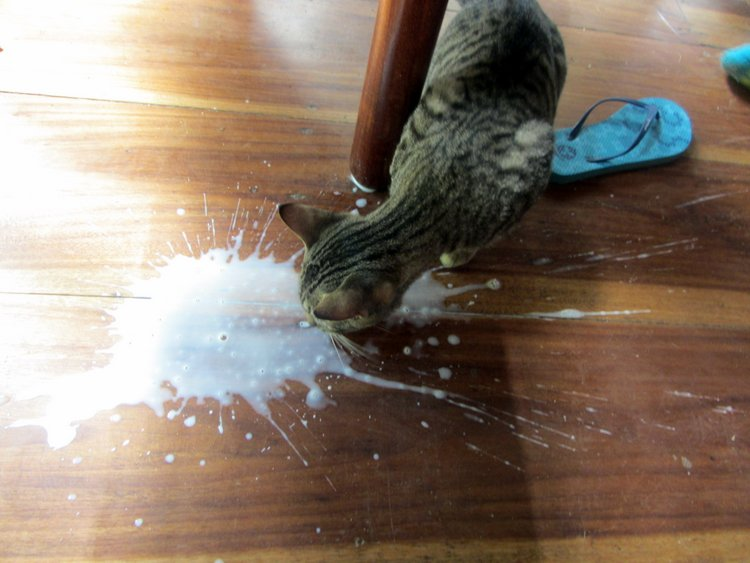 Cat lapping spilled milk