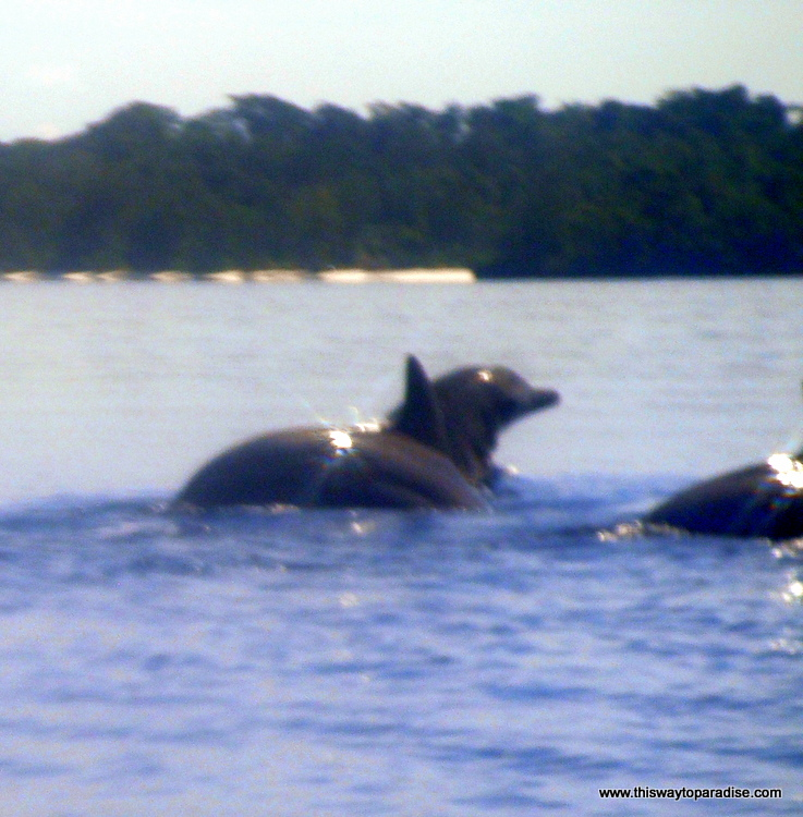 Dolphins on the Kei Islands, a spice island in Moluku