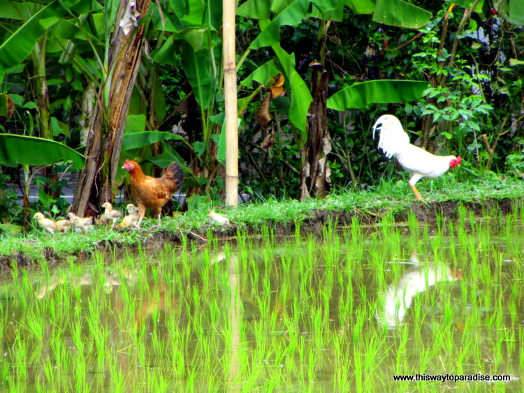 Ducks and rooster in Ubud rice field