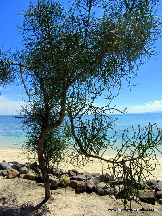 Tree on Gili Meno