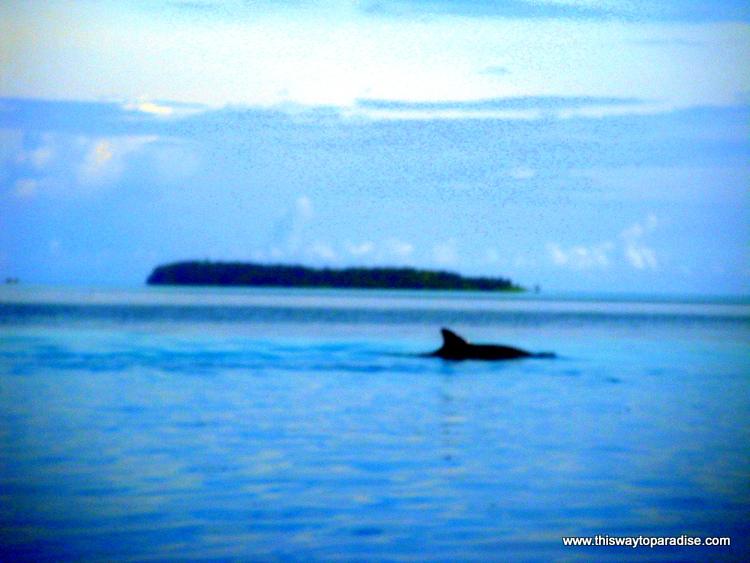 Dolphin of Kei Island