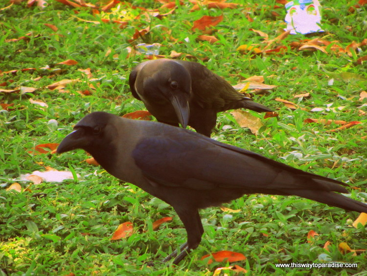 Crows From Sri Lanka