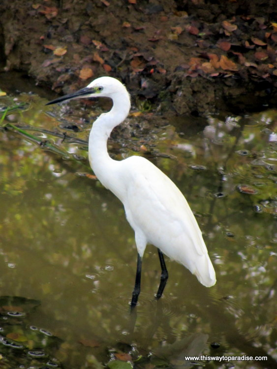 Yala Park, Sri Lanka Egret