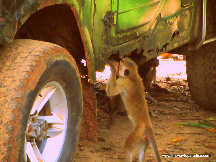 Monkey and Jeep, Yala National Park, Sri Lanka