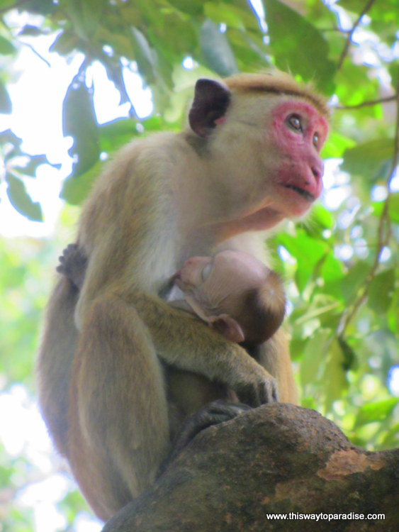Monkey with Baby, Yala National Park, Sri Lanka