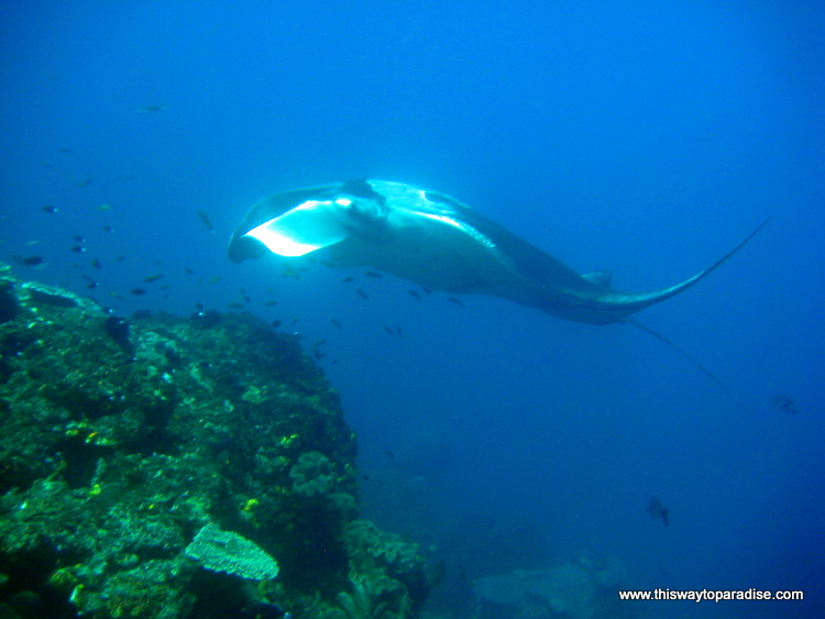 Manta ray in Raja Ampat, Best Diving
