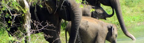 Elephant Family at Yala Park