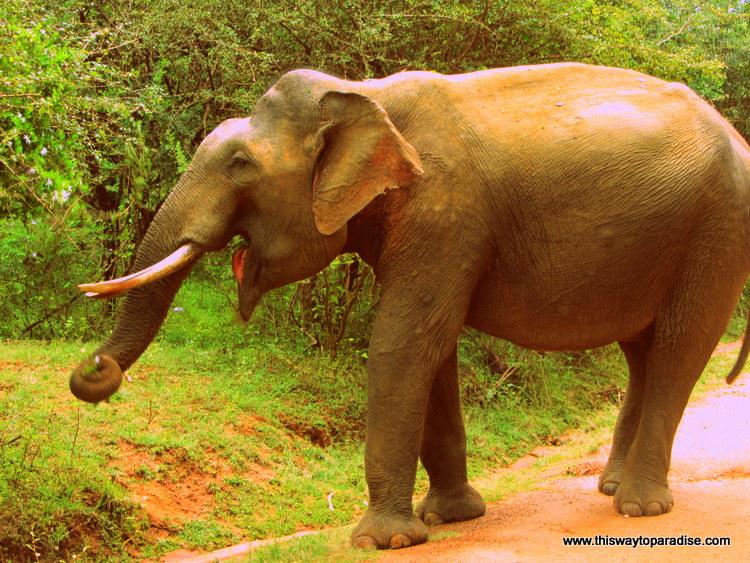 Yala Park elephant