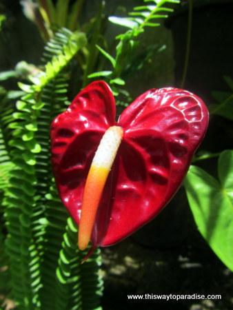 Anthurium flower in Ella Sri Lanka