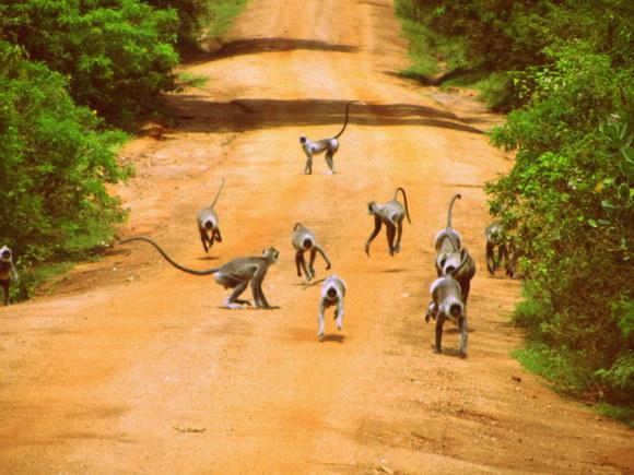 Monkeys in Yala Park, Sri Lanka