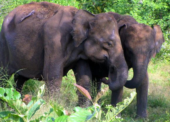 Elephants in Yala Park, Sri Lanka