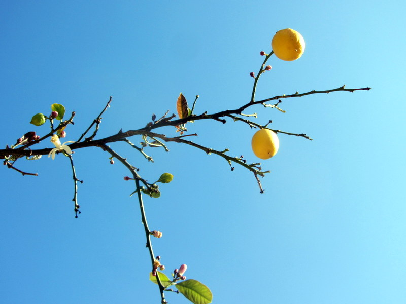 Lemons Reaching For The Sky In Chania