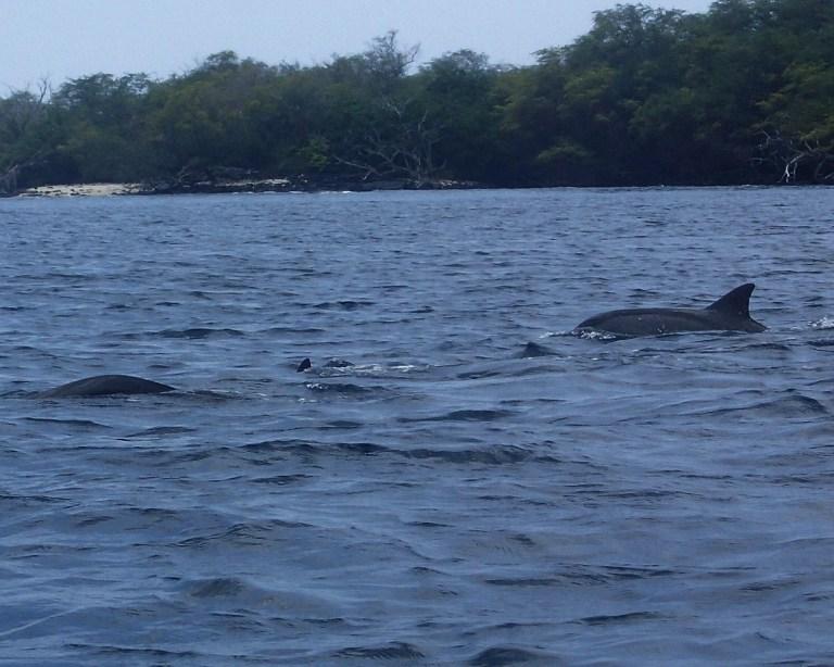 Dolphins In Hawaii: Kealakekua Bay On The Big Island
