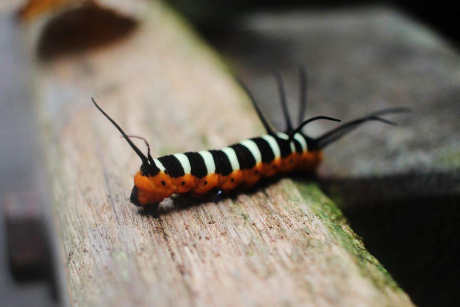 A colourful caterpillar in Mulu National Park