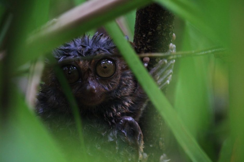 A tarsier in the trees, Philippines