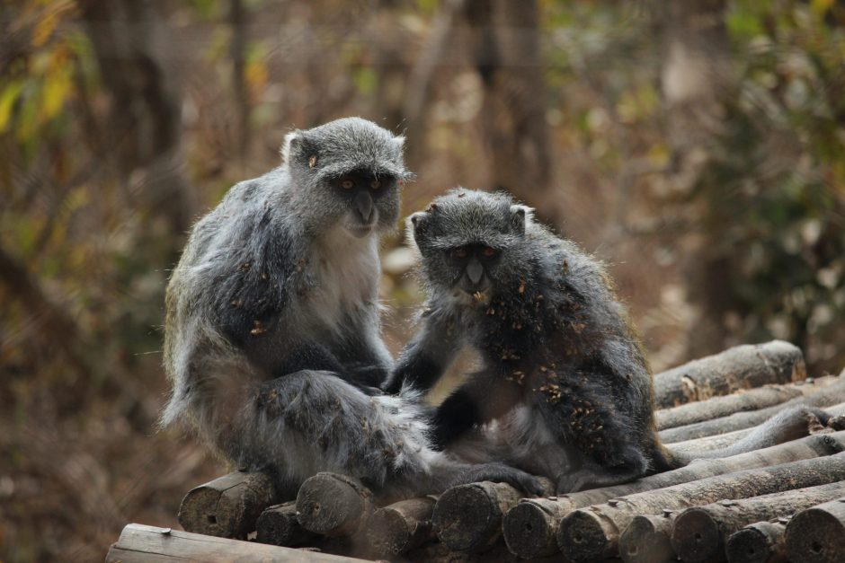 Frank and Gaia, two blue monkeys, in the Lilongwe Wildlife Centre, Malawi
