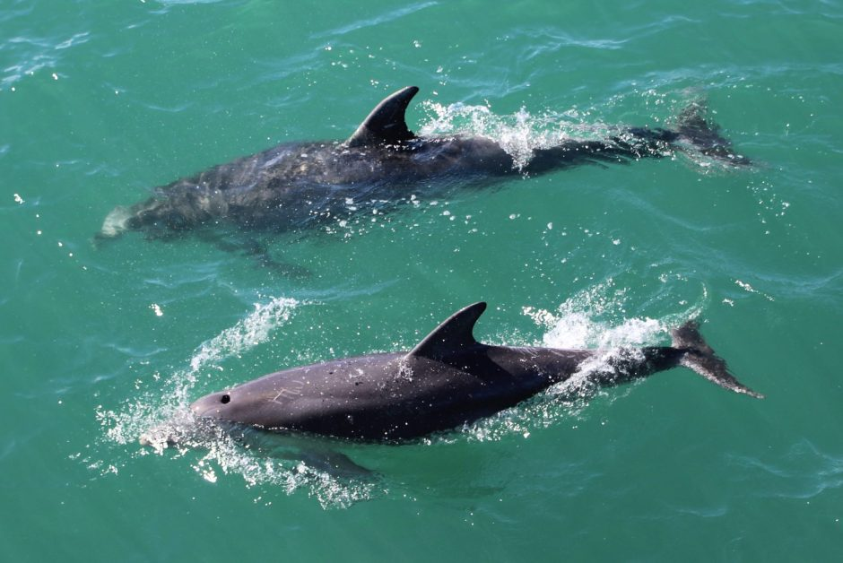 Dolphins swimming in the Bay of Islands, New Zealand