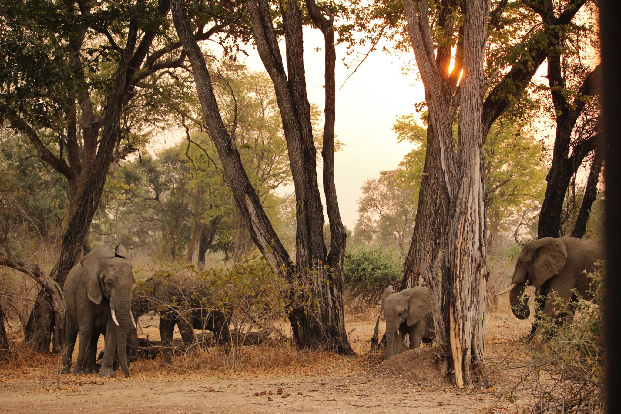 A herd of elephants in Zambia
