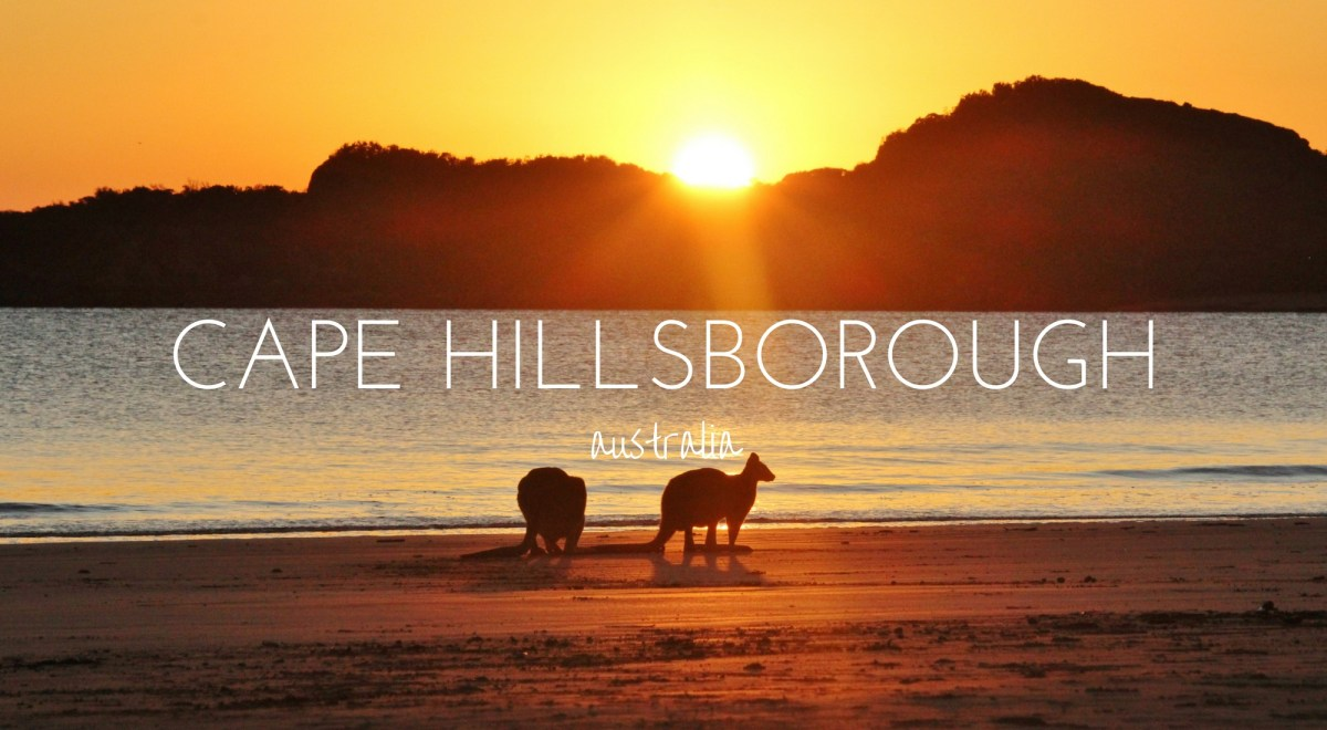 Kangaroos At Dawn - Cape Hillsborough National Park