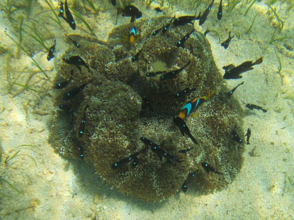 Clownfish on coral, Tonga