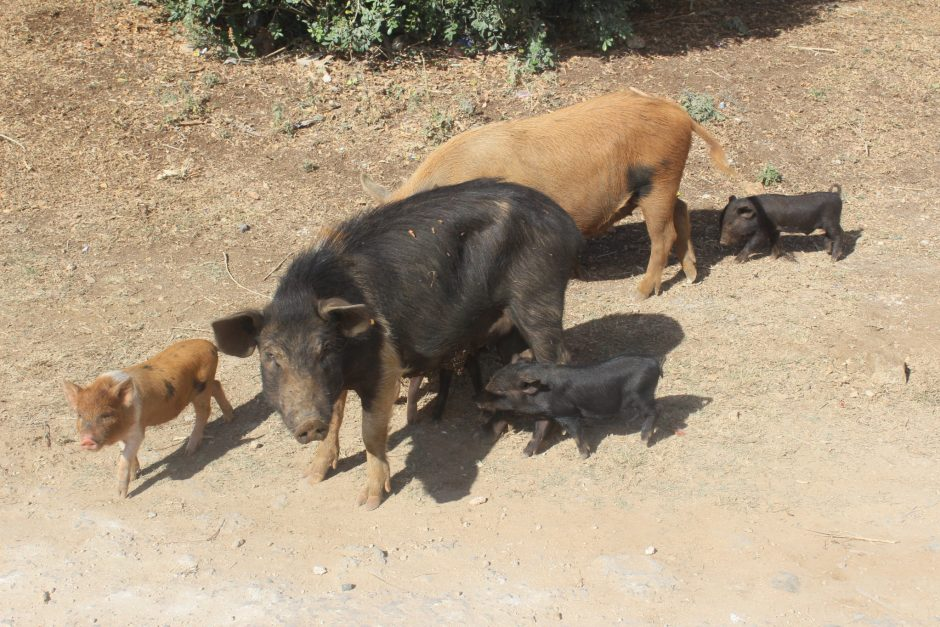Pig and her piglets, Tonga