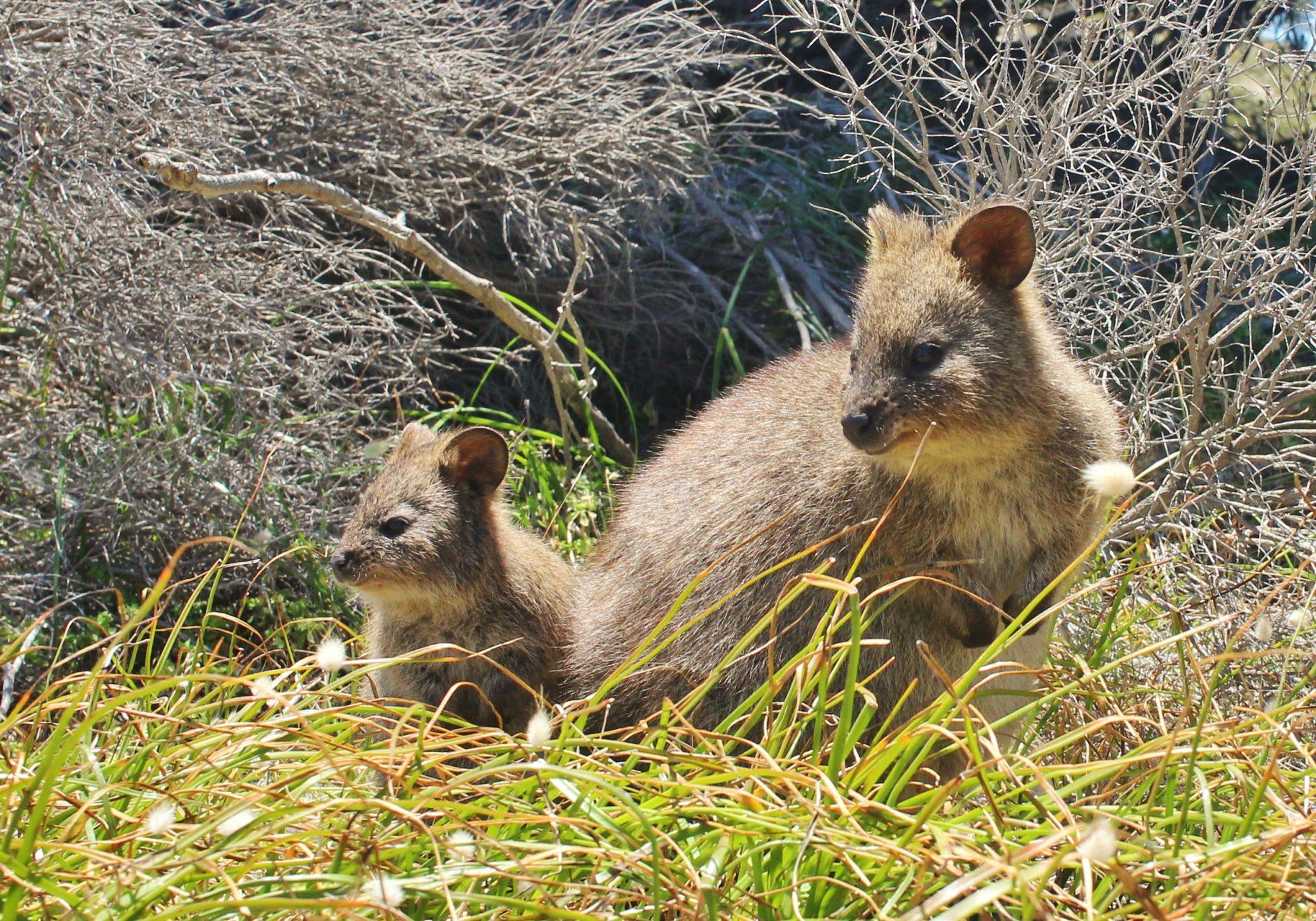 A quokka and her baby, Rottnest Island, Australia