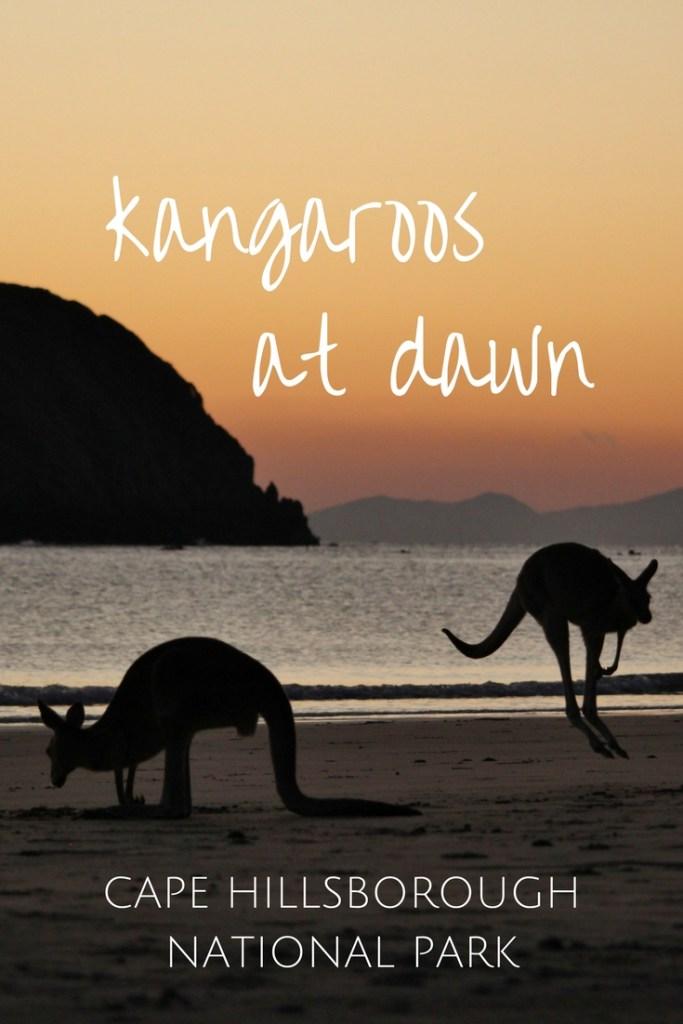 Kangaroos at dawn - Cape Hillsborough National Park, Australia